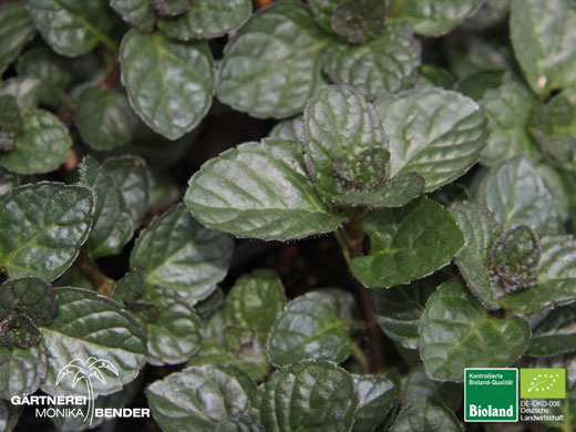 Minze Berries and Cream (Mentha spicata)