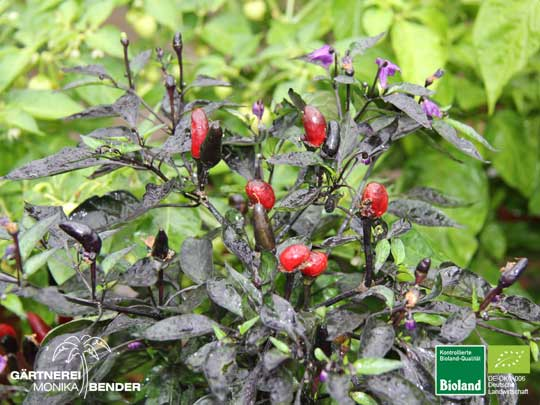 Chili Royal Black Blüte - Capsicum annuum - | Bioland