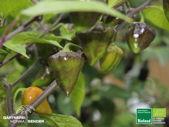 Habanero Orange Lantern - Capsicum chinense - orange | Bioland