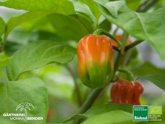 Habanero - Tropical Red - Capsicum chinense