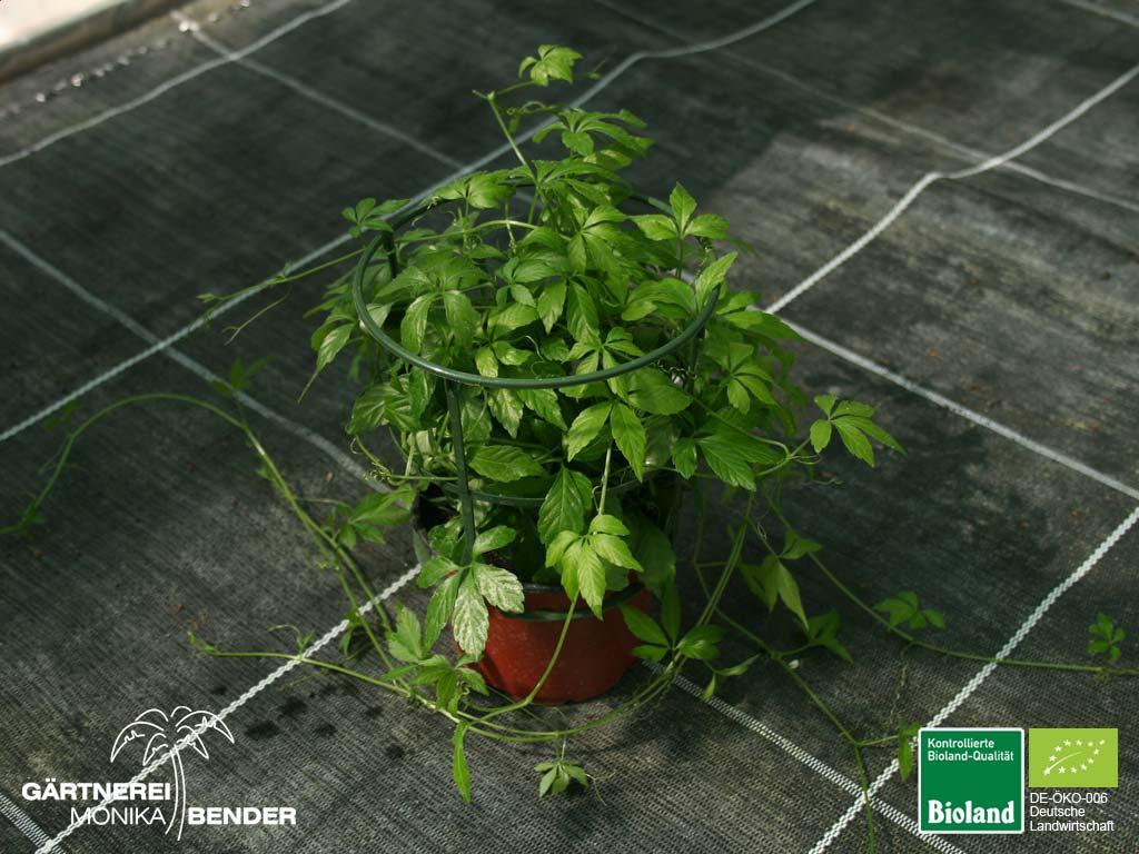 Gynostemma pentaphyllum kraut der unsterblichkeit bioland - Zimmerpflanze rankend ...