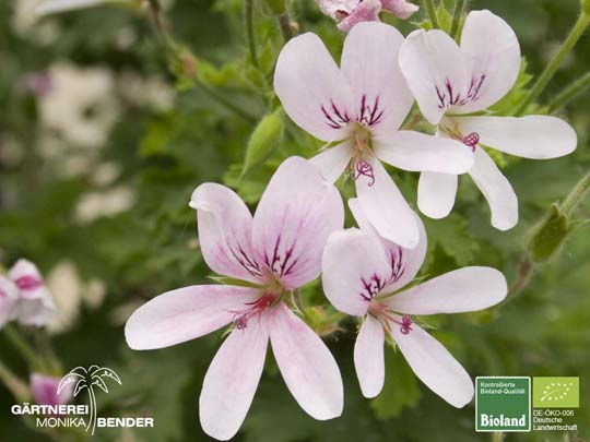 Pelargonium x citriodorum