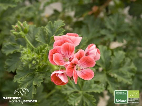 Pelargonium x unique