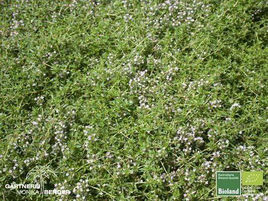 thymus herba barona var citriodora zitronen k mmel thymian bioland. Black Bedroom Furniture Sets. Home Design Ideas